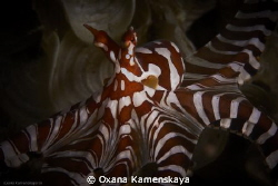 The wonderpus octopus. The behavior of the mimic octopus ... by Oxana Kamenskaya 
